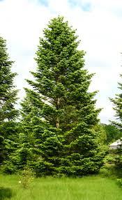 Nordmann-Tanne - als solitärer Baum