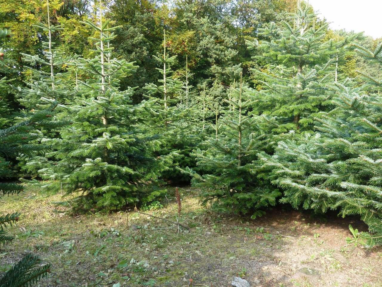 Willkommen weihnachtsbaum nix for Weihnachtsbaum arten